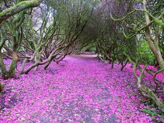Path covered in purple petals under arched tree branchies in Craig y Nos Country Park