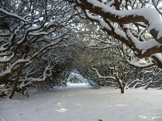 Country Park arched trees in covered in deep snow Craig y Nos in Wales