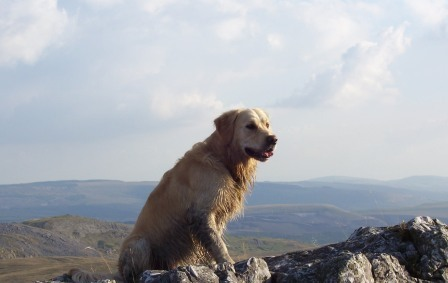 Golden Retriever Dog on mountain top in South Wales Brecon Beacons National Park